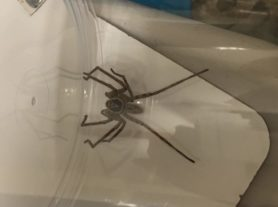Picture of Heteropoda venatoria (Huntsman Spider) - Male - Dorsal