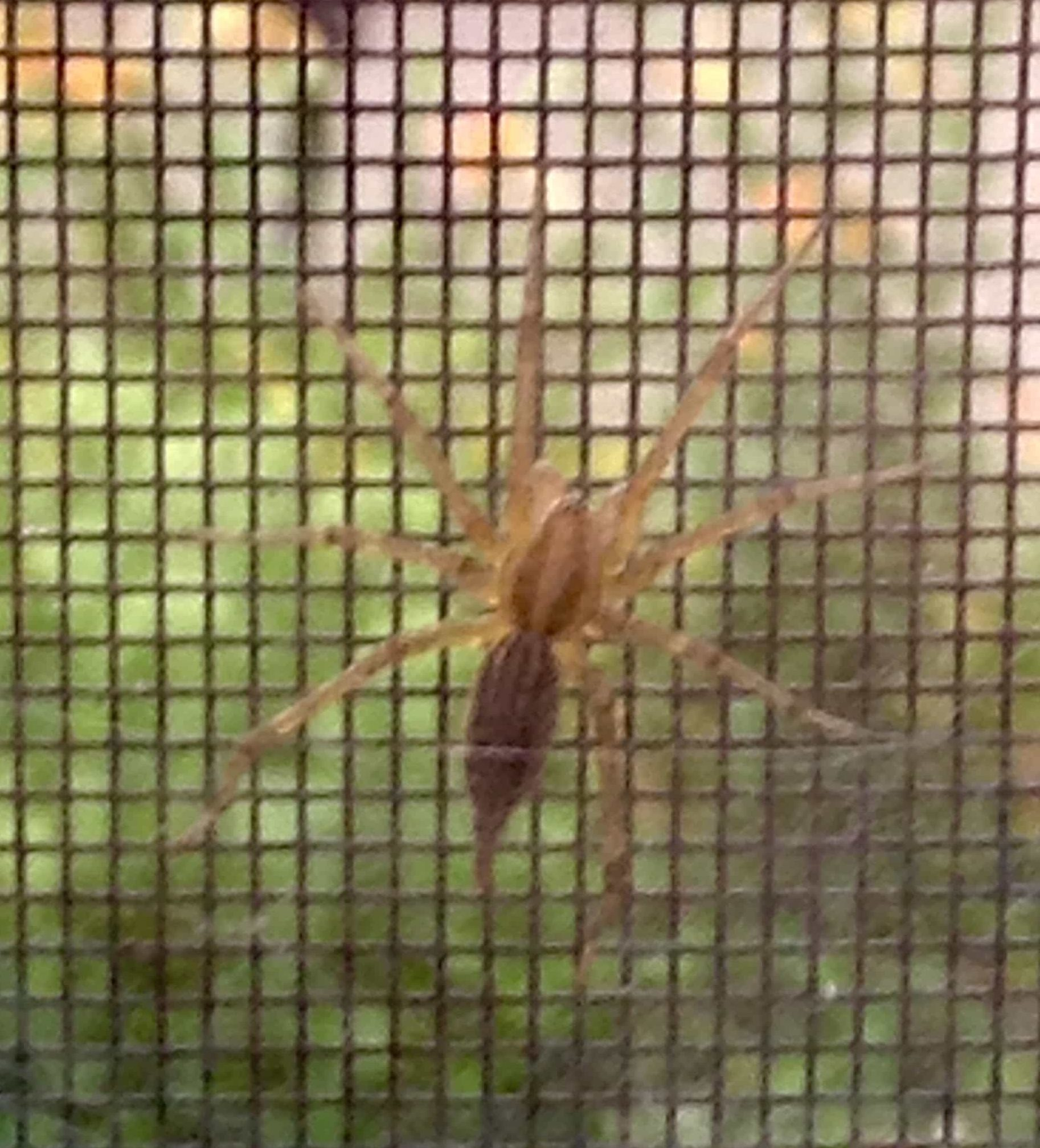 Picture of Agelenopsis (Grass Spiders) - Male - Dorsal