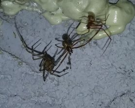 Picture of Parasteatoda spp. - Male,Female