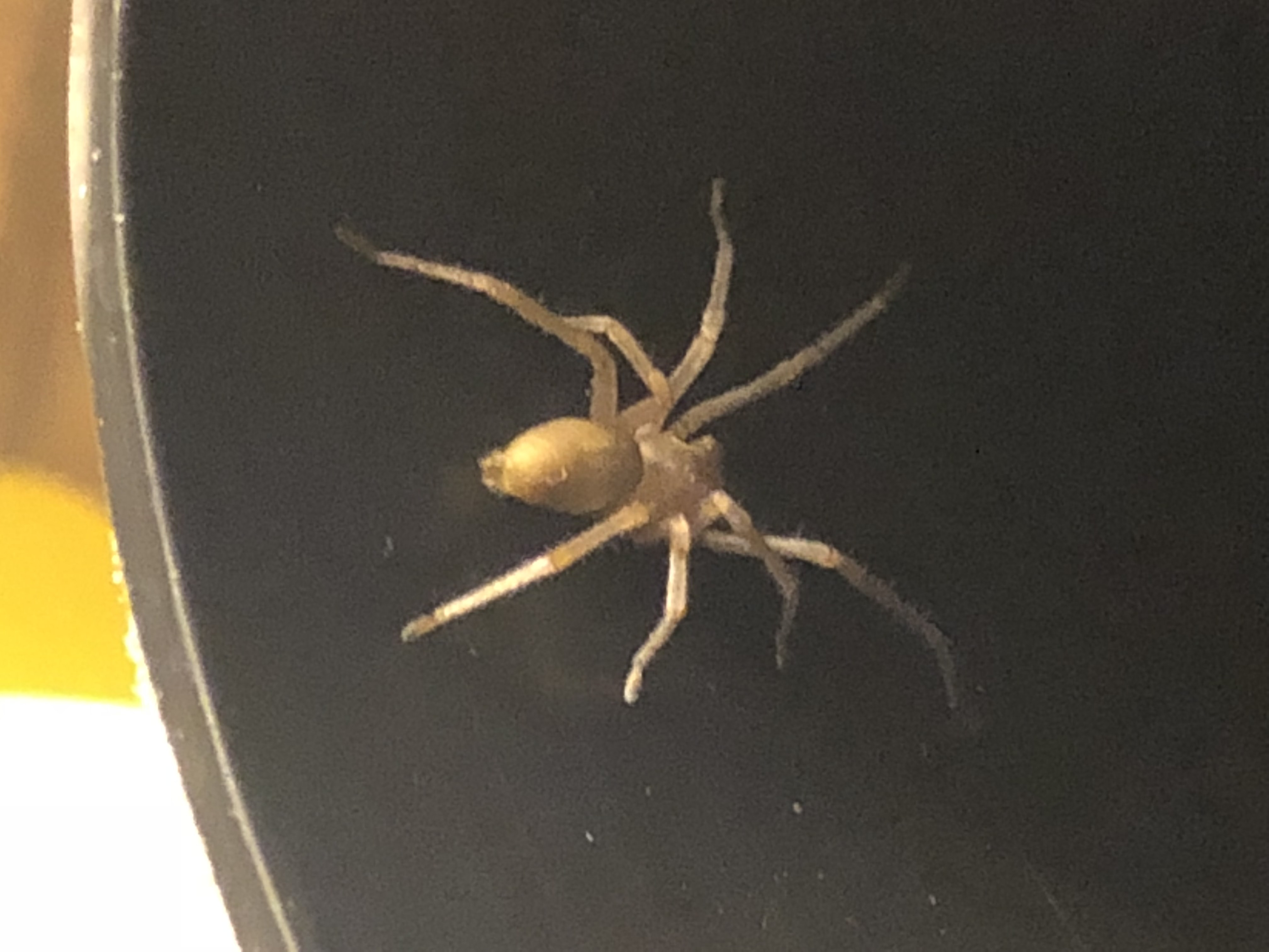 Picture of Cheiracanthium mildei (Long-legged Sac Spider)