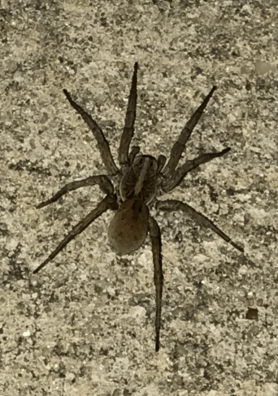 Picture of Hogna spp. - Dorsal