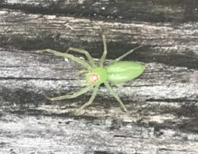 Picture of Lyssomanes viridis (Magnolia Green Jumper) - Female - Dorsal