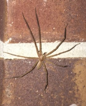 Picture of Pisaurina mira (Nursery Web Spider) - Male - Dorsal