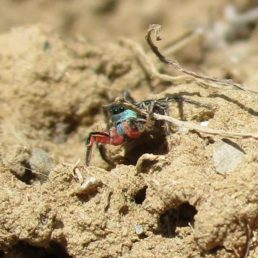Featured spider picture of Habronattus americanus