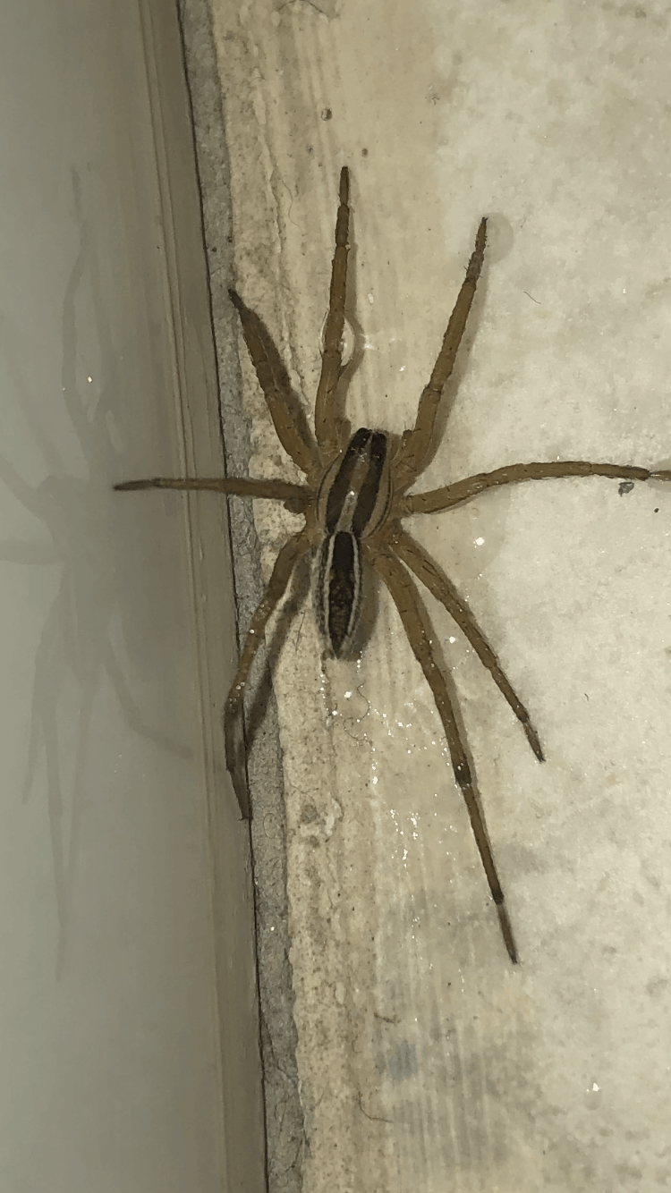 Picture of Rabidosa punctulata (Dotted Wolf Spider) - Dorsal