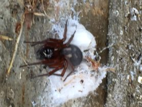 Picture of Callobius severus - Female - Dorsal,Egg sacs