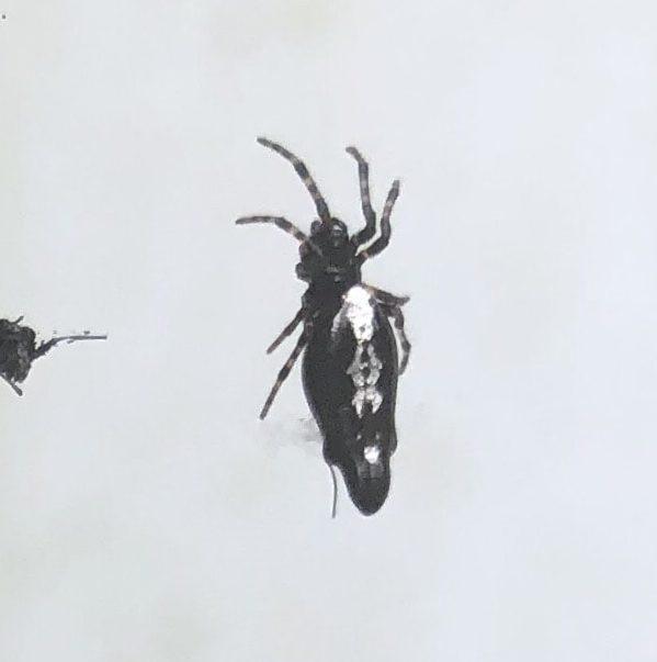 Picture of Cyclosa trilobata (Three-lobed Spider) - Dorsal