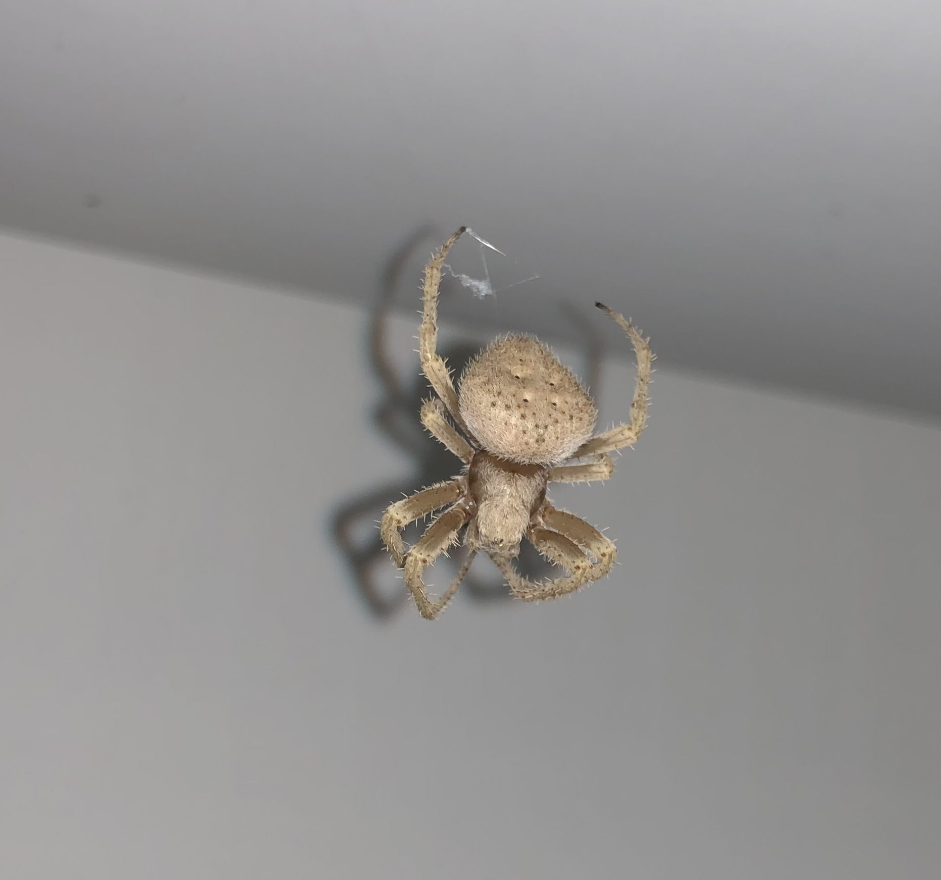 Picture of Araneidae (Orb-weavers) - Dorsal,Webs
