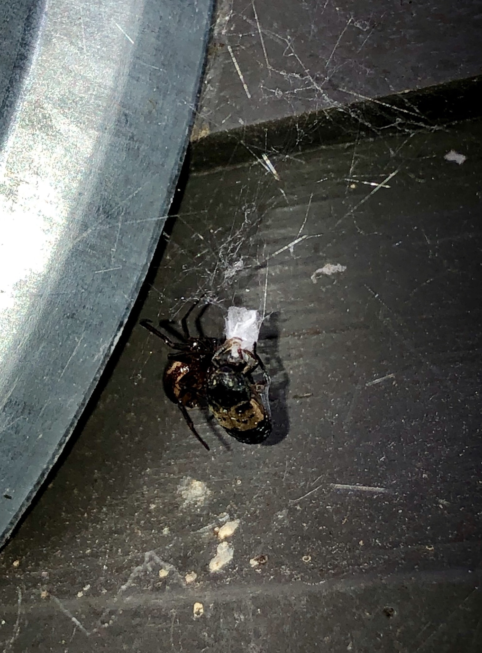 Picture of Steatoda (False Widows) - Lateral,Webs,Prey
