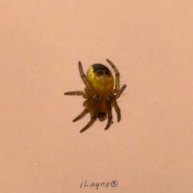 Picture of Araneidae (Orb-weavers) - Dorsal,Spiderlings