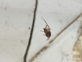 Picture of Steatoda borealis - Ventral