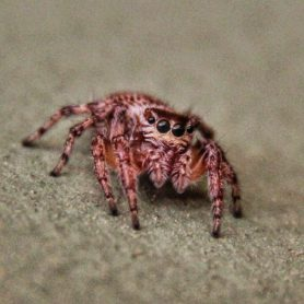 Picture of Salticidae (Jumping Spiders) - Eyes