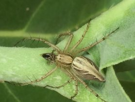 Picture of Oxyopidae (Lynx Spiders) - Dorsal,Prey