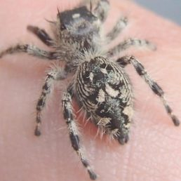 Featured spider picture of Phidippus otiosus (Canopy Jumping Spider)