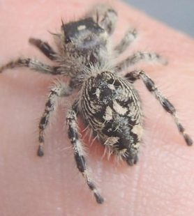 Picture of Phidippus otiosus (Canopy Jumping Spider) - Female - Dorsal