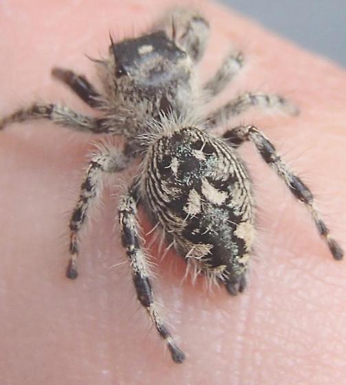 Picture of Phidippus otiosus (Canopy Jumping Spider) - Female - Dorsal