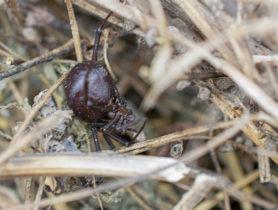 Picture of Steatoda spp. (False Widows)