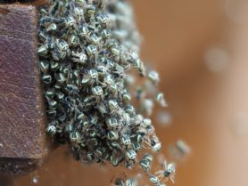 Picture of Araneidae (Orb-weavers) - Male,Female - Dorsal,Spiderlings