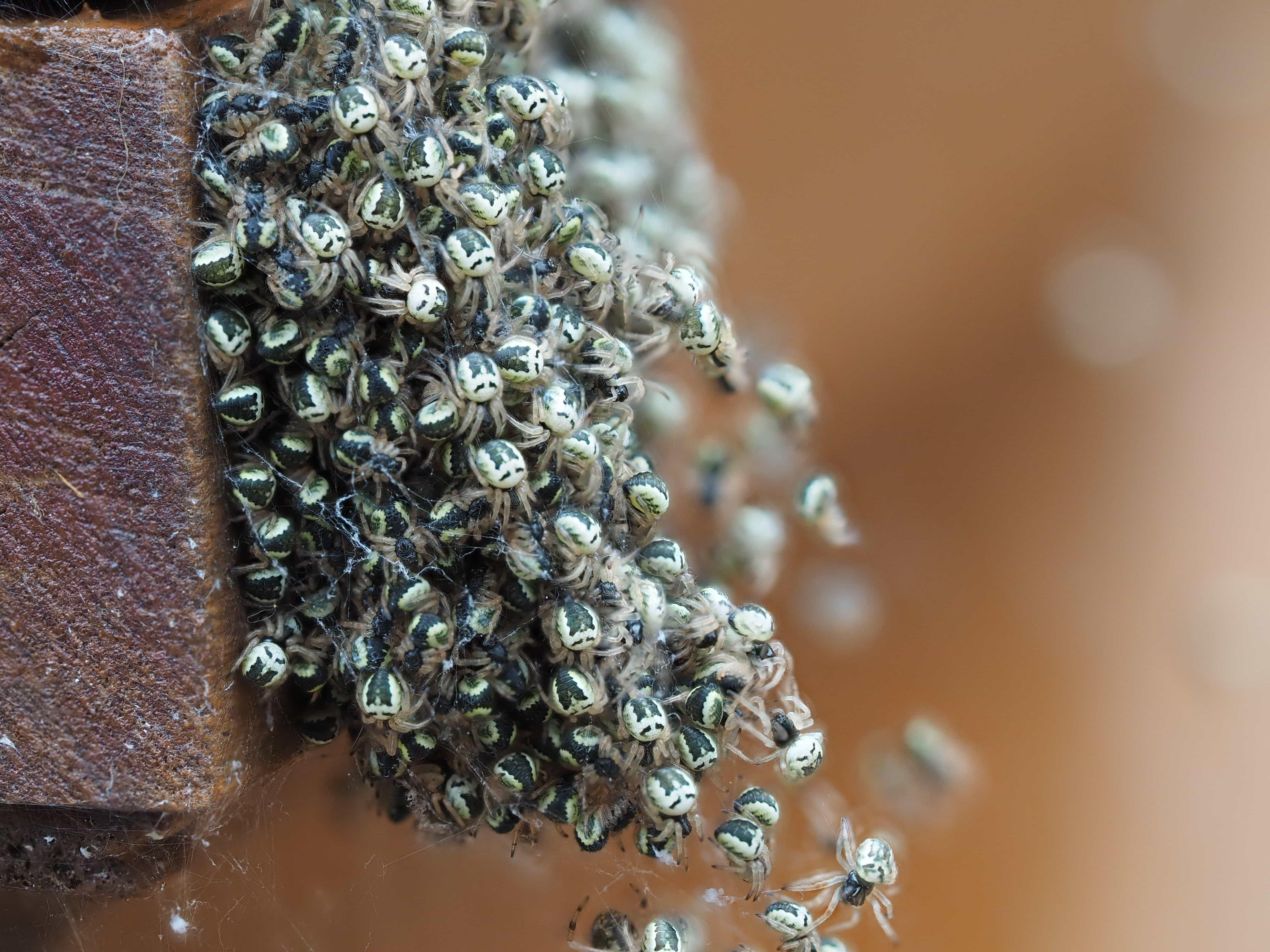 Picture of Araneidae (Orb-weavers) - Male,Female - Dorsal,Spiderlings