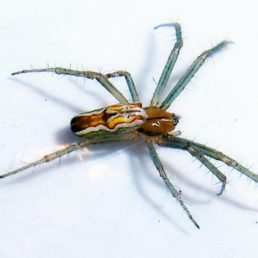 Featured spider picture of Mecynogea lemniscata (Basilica Orb-weaver)