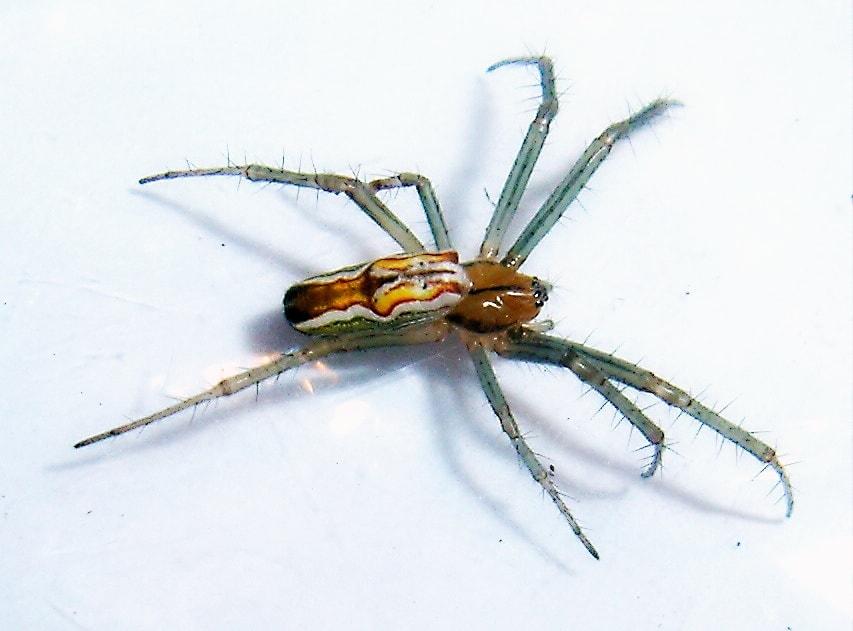Picture of Mecynogea lemniscata (Basilica Orb-weaver) - Female - Dorsal