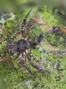 Picture of Bassaniana utahensis (Utah Crab Spider) - Dorsal