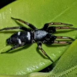 Featured spider picture of Sergiolus columbianus