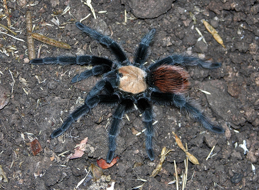 Picture of Brachypelma albiceps (Golden Red-rump Tarantula) - Female - Dorsal