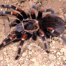Featured spider picture of Brachypelma auratum (Mexican Flame-knee Tarantula)