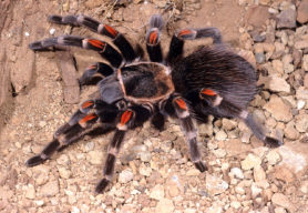 Picture of Brachypelma auratum (Mexican Flame-knee Tarantula) - Female - Dorsal