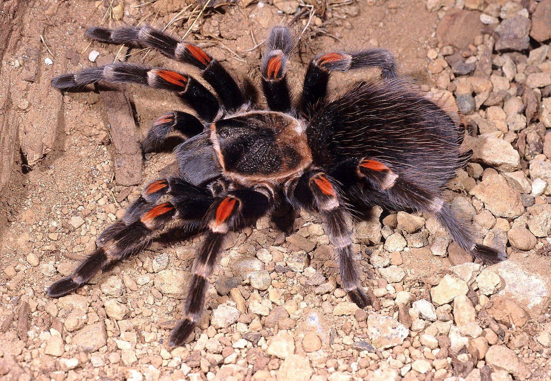 Picture of Brachypelma auratum (Mexican Flame-knee Tarantula) - Female - Dorsal