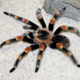 Featured spider picture of Brachypelma hamorii (Mexican Orange-knee Tarantula)