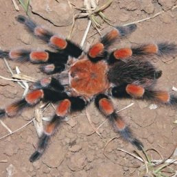Featured spider picture of Brachypelma smithi (Mexican Red-knee Tarantula)