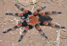 Picture of Brachypelma smithi (Mexican Red-knee Tarantula) - Female - Dorsal
