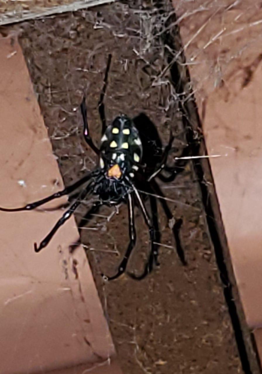 Picture of Nephilingis cruentata (African Hermit Spider) - Ventral