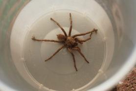 Picture of Calisoga spp. (False Tarantulas) - Dorsal