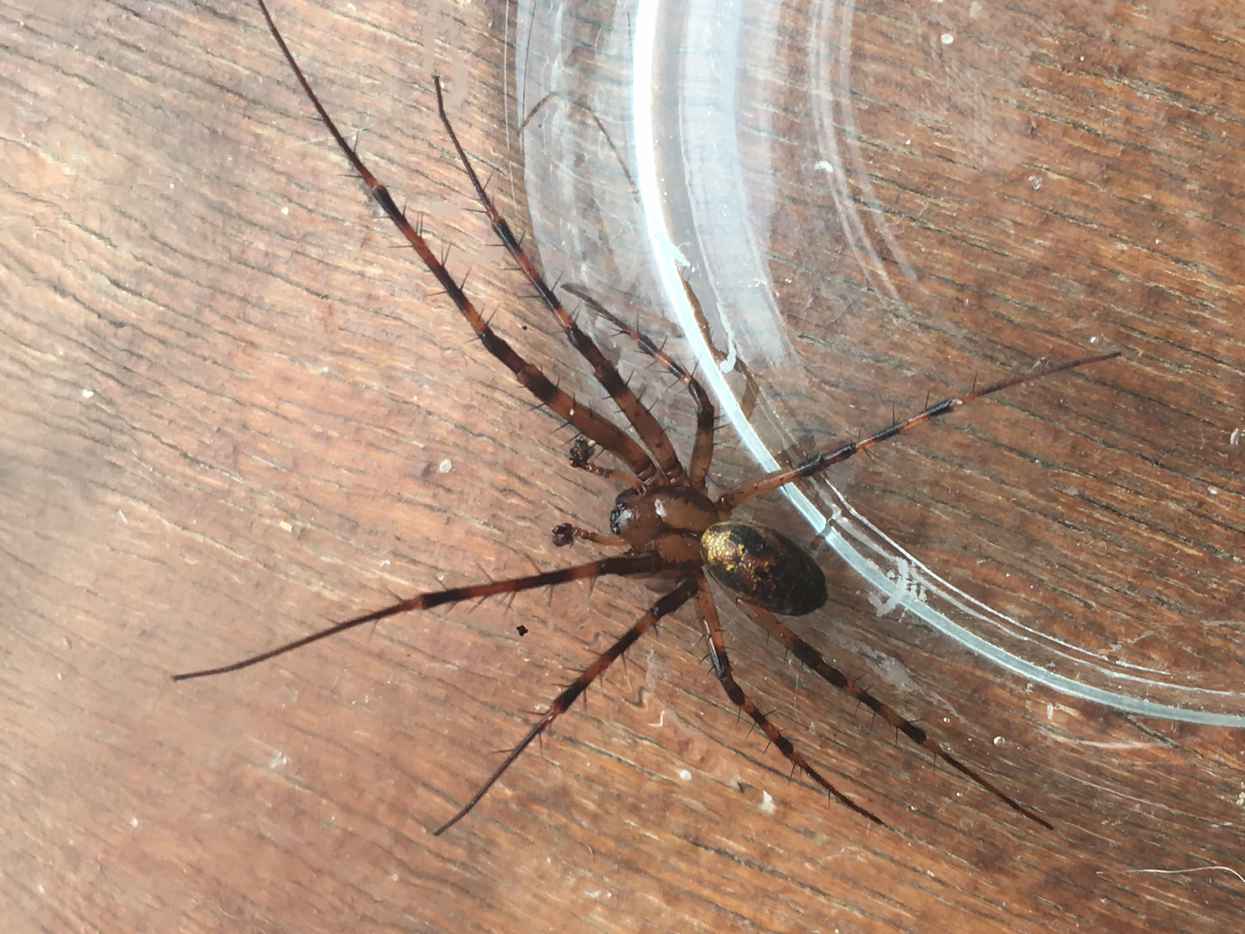Picture of Meta menardi (European Cave Spider) - Male - Dorsal