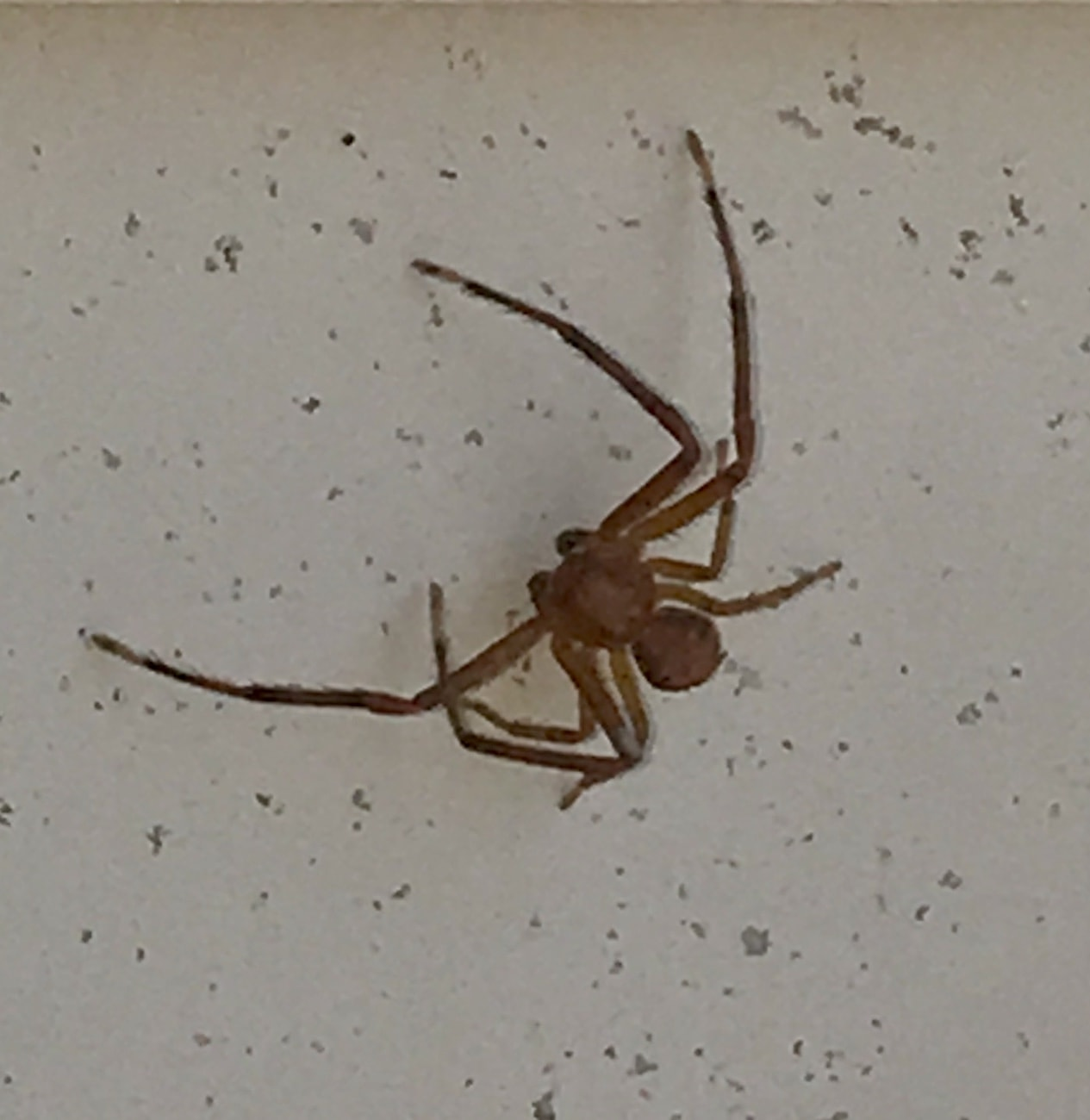 Picture of Xysticus (Ground Crab Spiders) - Male - Dorsal