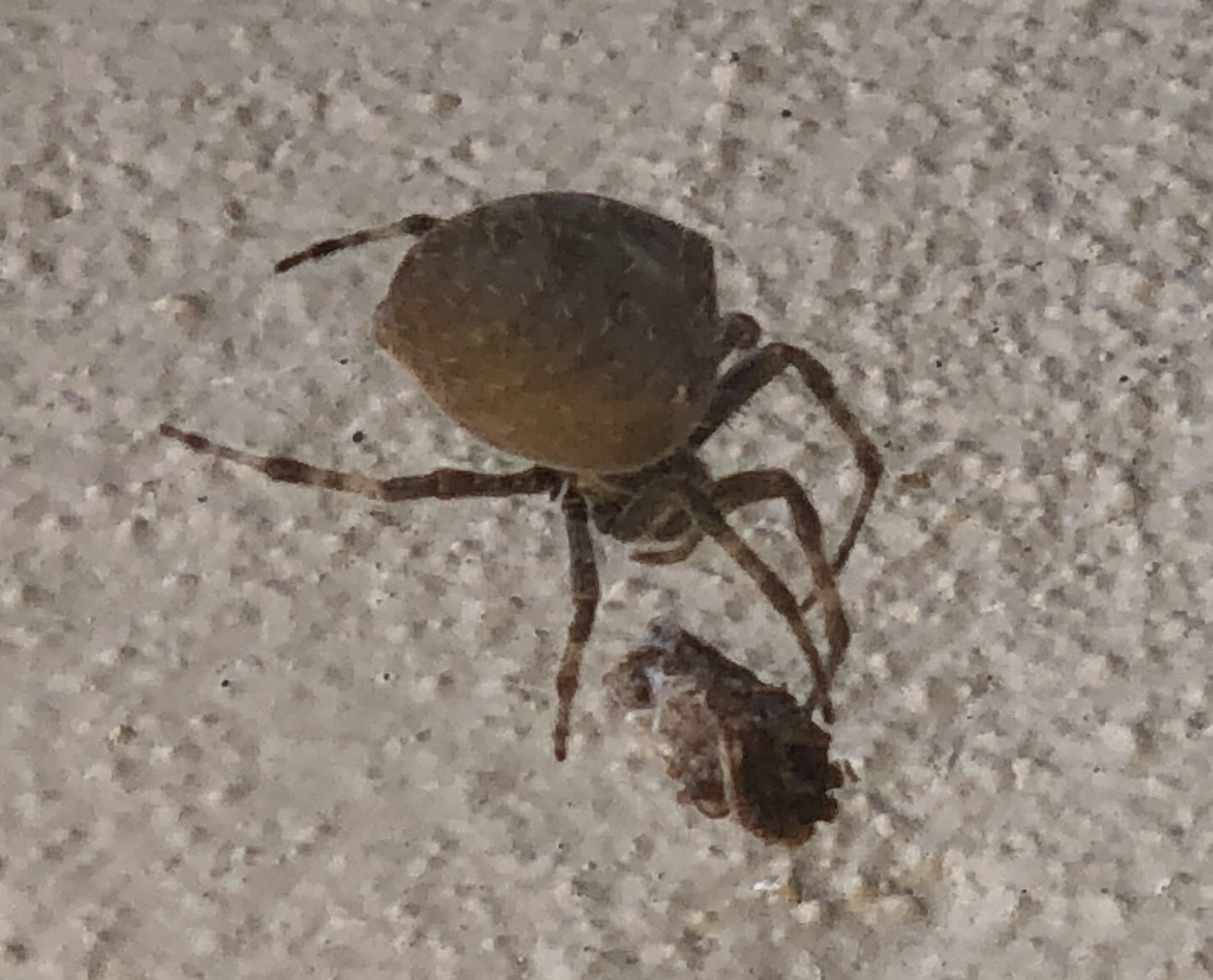 Picture of Araneus gemma - Lateral