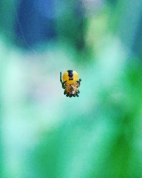 Picture of Araneidae (Orb-weavers) - Ventral