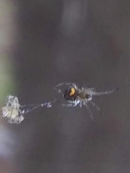 Picture of Leucauge venusta (Orchard Orb-weaver) - Ventral