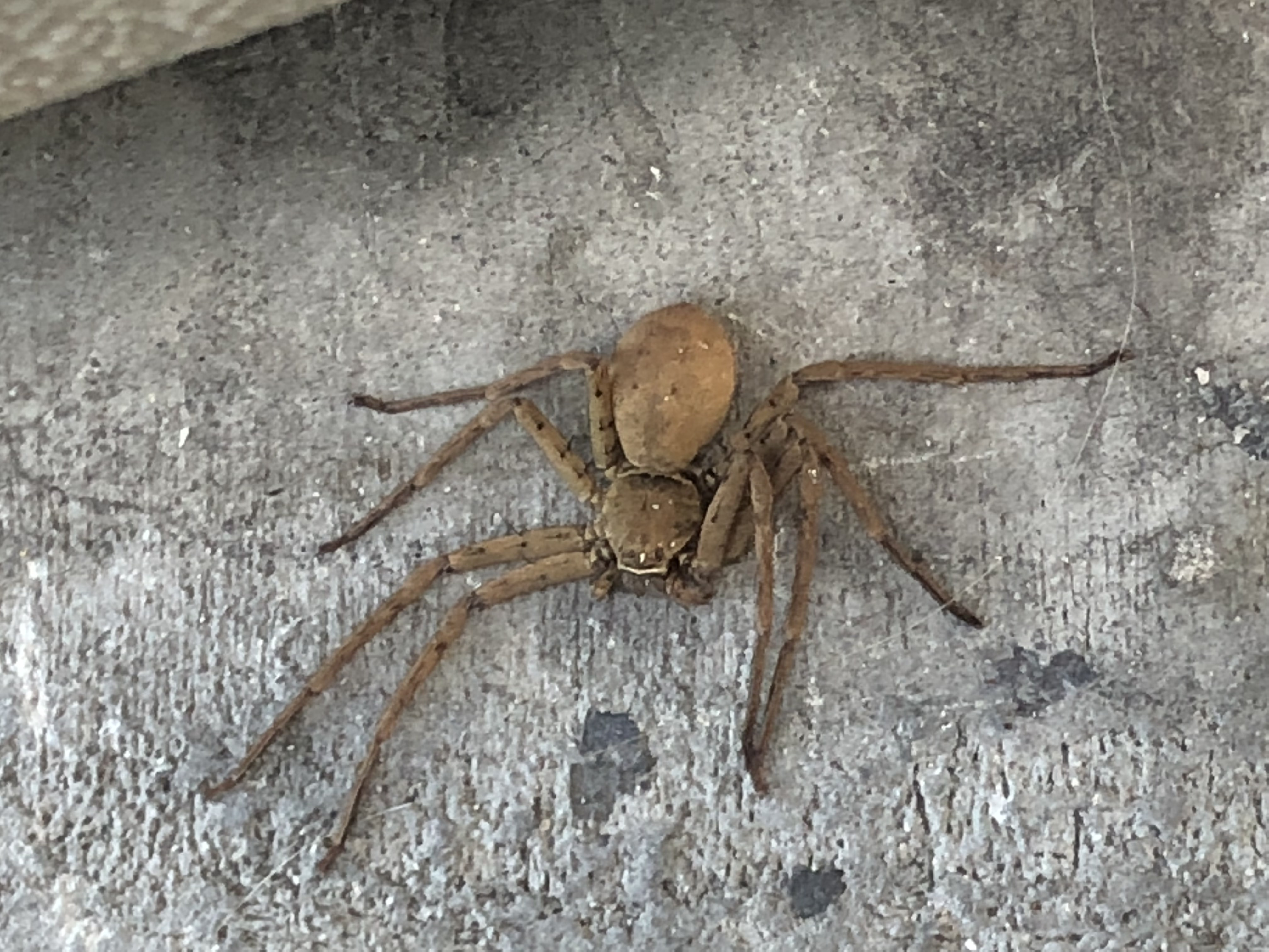Picture of Heteropoda venatoria (Huntsman Spider) - Female - Dorsal