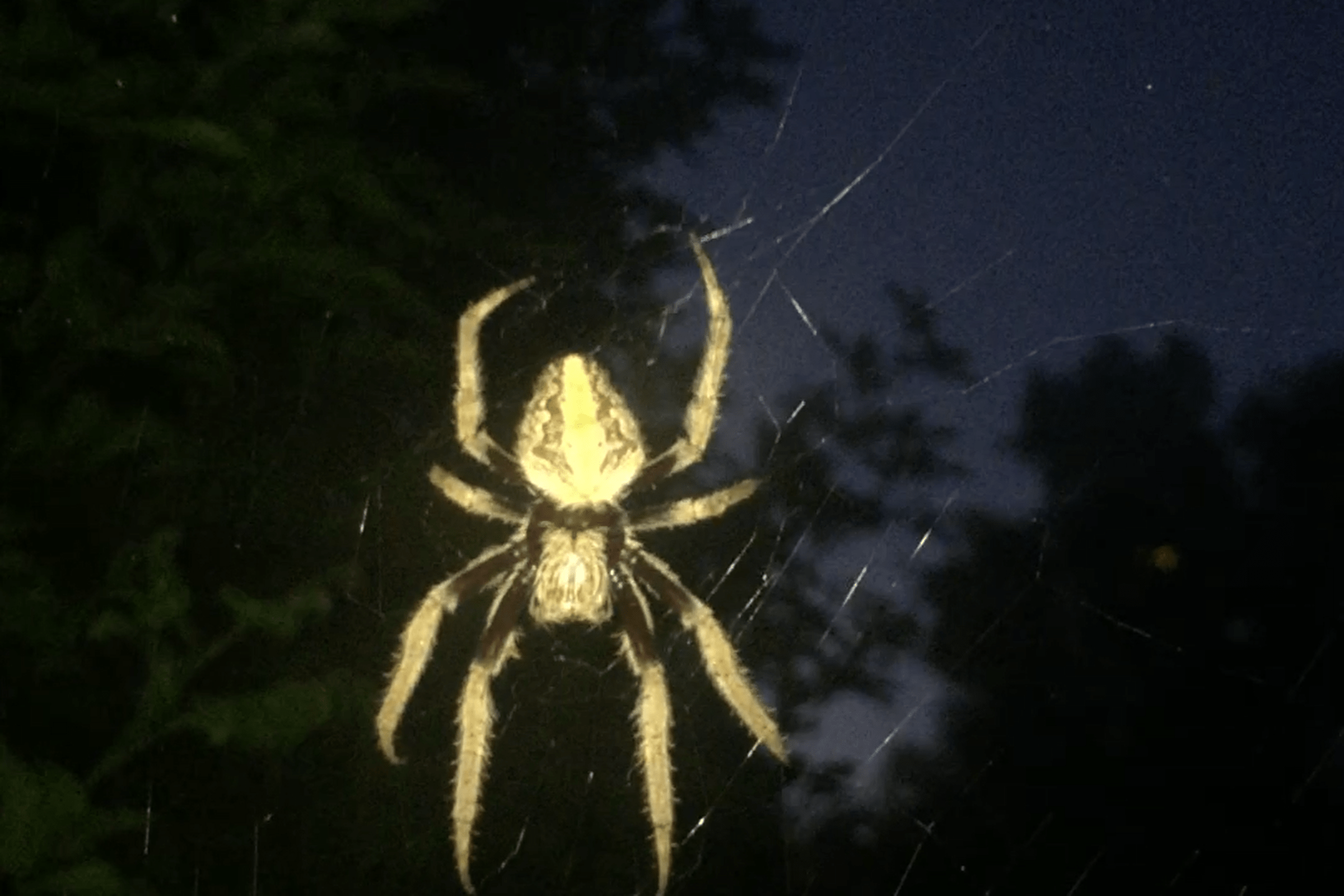 Picture of Eriophora - Dorsal,Webs