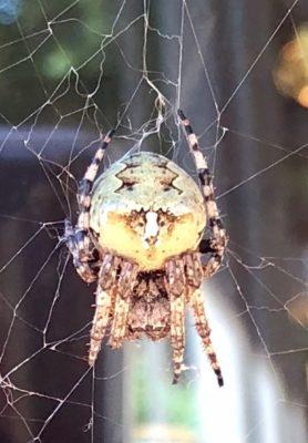 Picture of Araneus bicentenarius (Giant Lichen Orb-weaver) - Dorsal,Webs