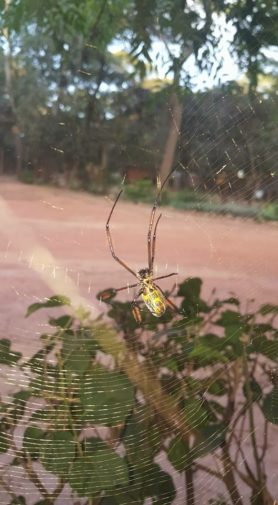 Picture of Nephila fenestrata (Hairy Golden Orb-weaver) - Female - Ventral,Webs