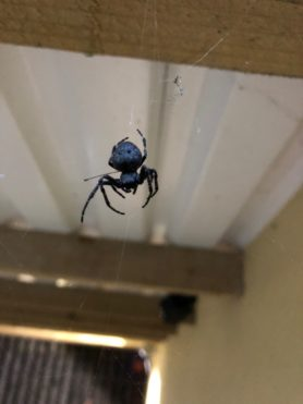 Picture of Nuctenea umbratica (Walnut Orb-weaver) - Dorsal,Webs