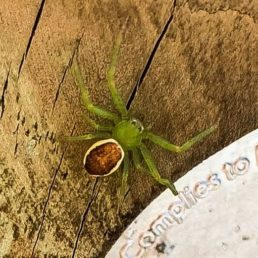 Featured spider picture of Diaea dorsata (Green Crab Spider)
