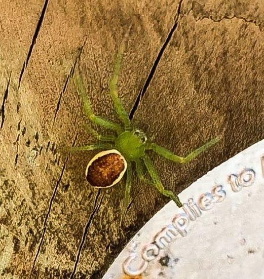 Picture of Diaea dorsata (Green Crab Spider)