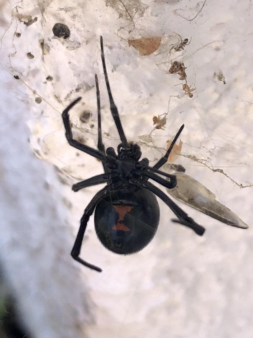 Picture of Latrodectus hesperus (Western Black Widow) - Ventral
