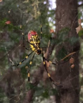 Picture of Trichonephila clavata (Joro spider) - Ventral,Webs